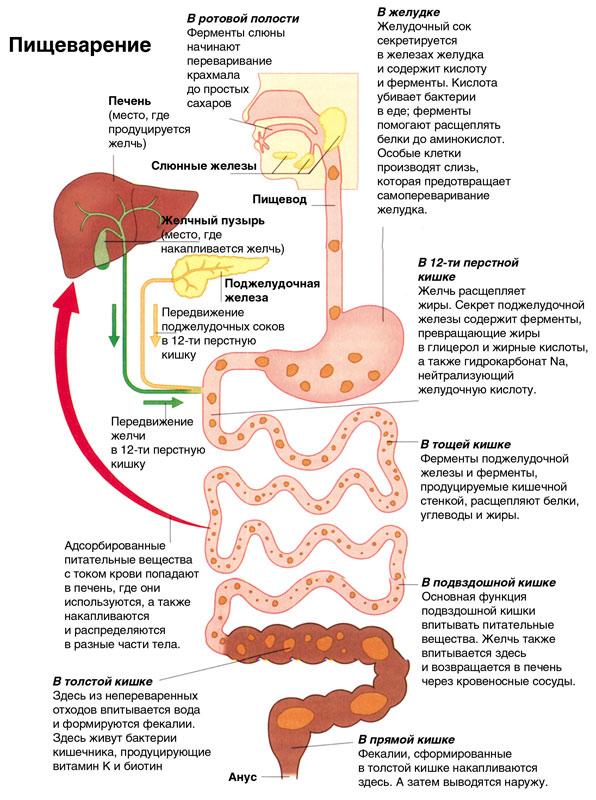 Как связан кишечник с кровью