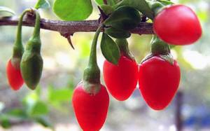 ягодя Goji